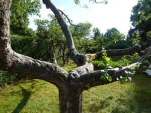 Alter Apfelbaum Eden